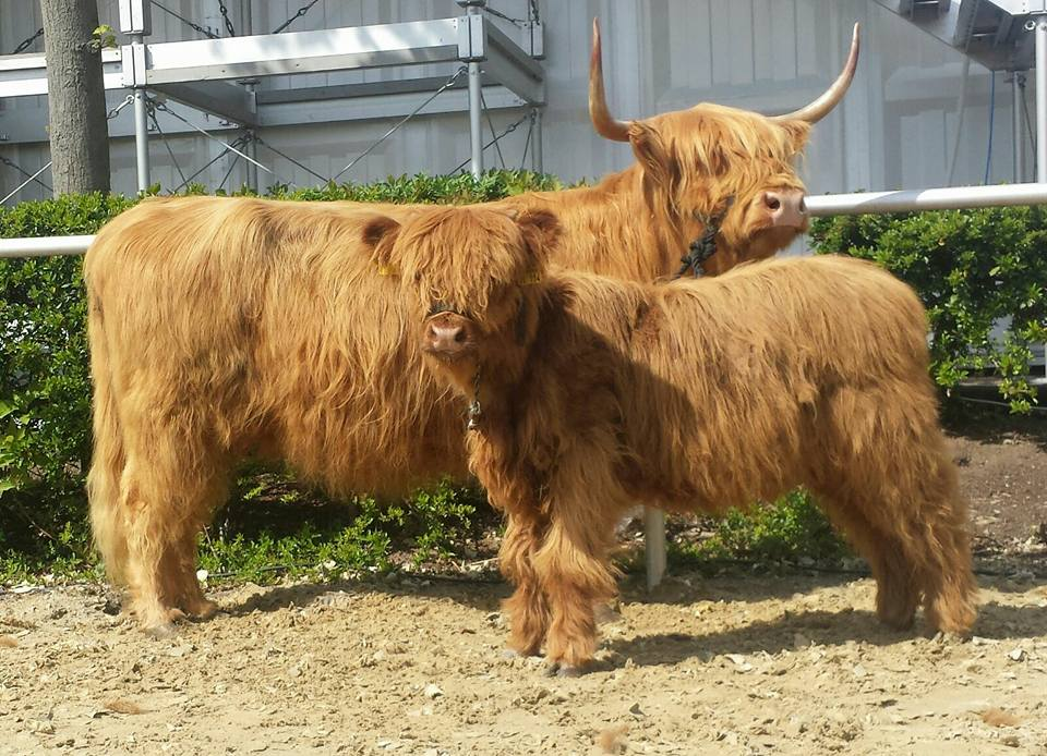 Highland Cattle mit Jungtier
